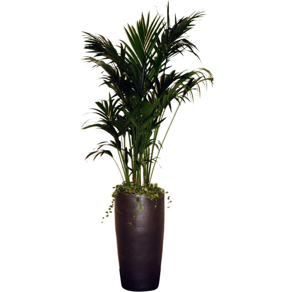 Pflanzen howeia palme deko for Deko mieten
