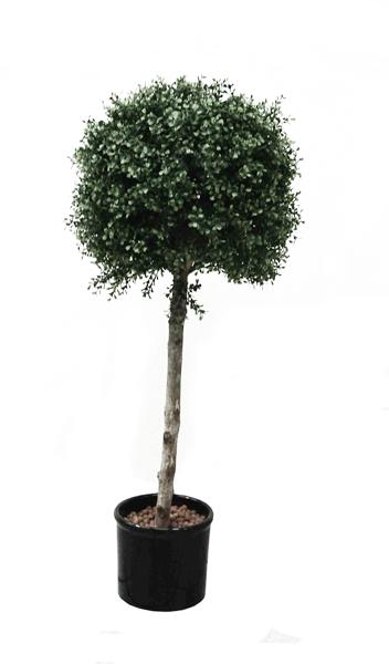 Pflanzen buchs pflanze klein for Stylische pflanzen