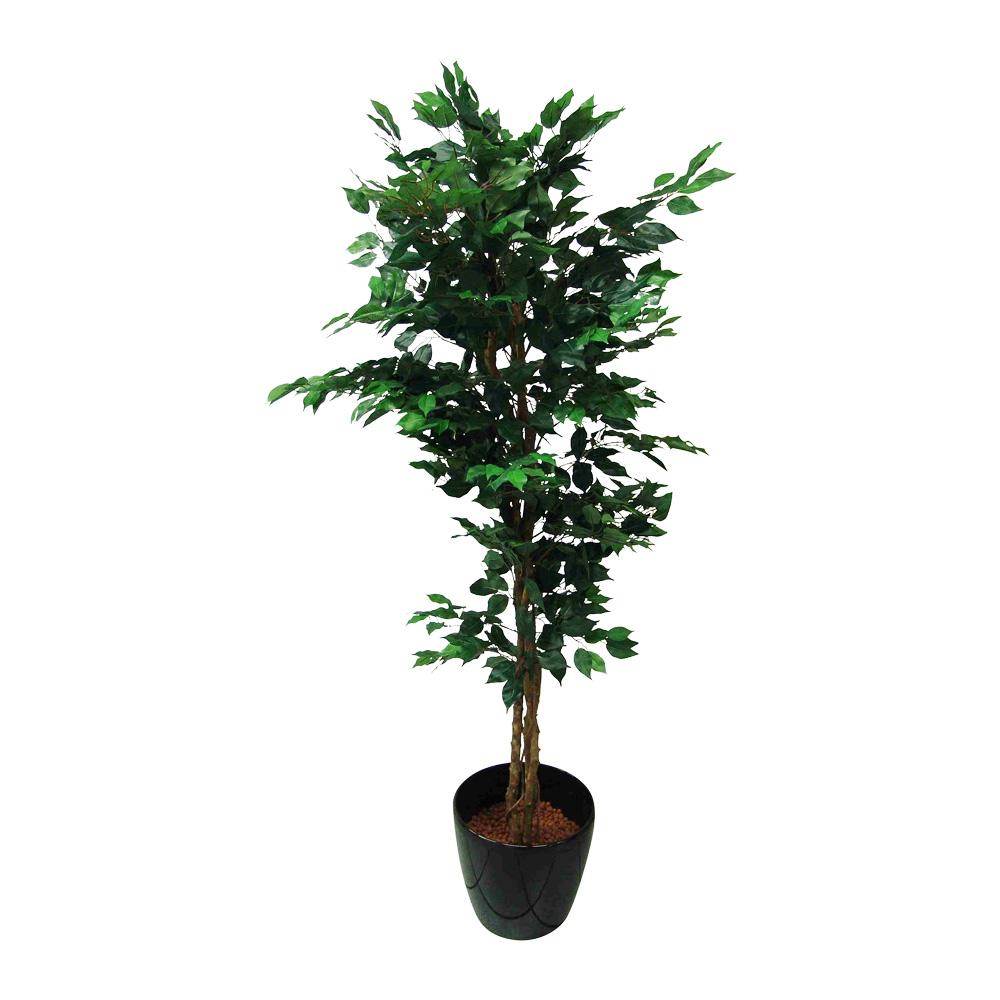 Pflanzen Ficus Pflanze
